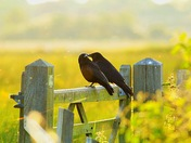 Two old crows sitting on a gate