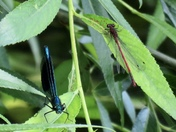 Banded demoiselle and damselflie
