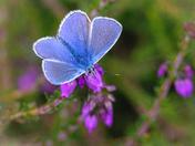 Common Blues, Buxton heath