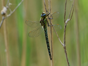 Hairy Dragonfly.