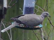 COLOURED DOVE IN THE GARDEN