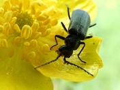 Buttercup Beetle