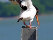 Dancing Oyster Catcher