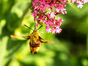 Broad Bordered Bee Hawkmoth
