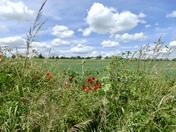 Wild flowers and green fields around Hadleigh