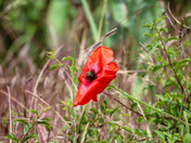Poignant poppies