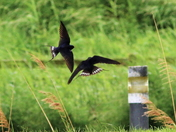 Swifts in flight