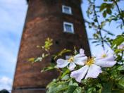 Wild flowers and Old Buckenham Windmill