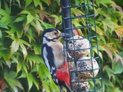Great spotted wood pecker feasting on fat balls.