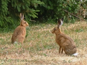 Brown hares.( photo challenge)