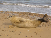 Seal on the beach.