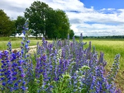 Beautiful viper's bugloss on the common