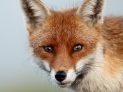A portrait of a red fox.