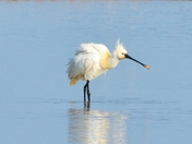 spoonbill taken at nwt cley marsh.