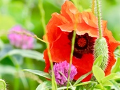 Poppies, my favourite flower