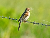 female reed bunting clecting nesting material. nwt cley marsh.