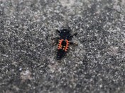 Ladybird Lava