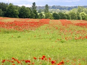 Poppies, my favourite flower, always have been