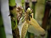 Dragonflies emerging