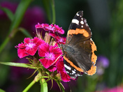 Sweet nectar from a Sweet William