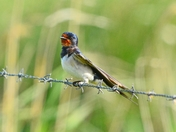 swallow ; nwt cley marsh.
