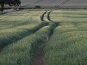 Essence of Suffolk ...Hare in the Suffolk barley field