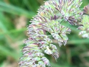 Grass seed heads red
