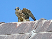 Peregrine Falcon at Norwich Cathedral.