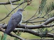 My very special bird, the Cuckoo
