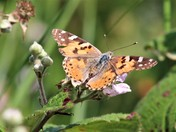 A sunbathing Painted Lady