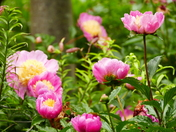 PRETTY PEONIES, HOUGHTON HALL GARDENS