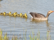 greylag geese with goslings. nwt cley marsh.