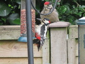 Greater Spotted Woodpecker - parent and baby
