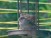 House sparrows in the garden