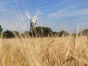 Approaching harvest time at Bircham Mill.