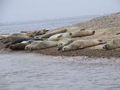 Seals at Blakeney Point