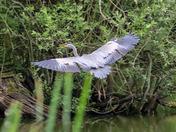 Pesky heron