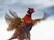 Our local pheasant