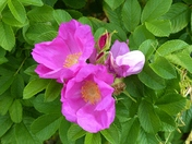 WILD ROSES IN THE HEDGEROW