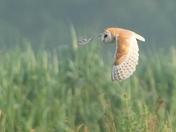 Barn Owl in the mist.
