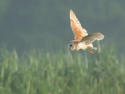 Barn Owl in the mist.