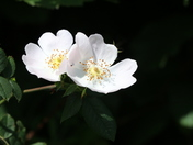 Wild rose in the hedgerow.