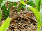 Hare hides in the crops.