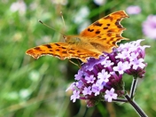 Comma butterfly in todays glorious sunshine.