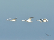 swans in flight over nwt cley marsh.