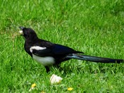 Magpie enjoying half an apple