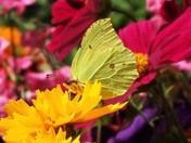 Brimstone Butterfly in my garden in Worle this morning