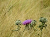 Lone thistle in a field of corn