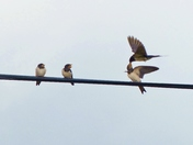 feeding time  for young swallows