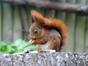 FEED TIME FOR SQUIRREL AT PENTHORPE NATURAL PARK